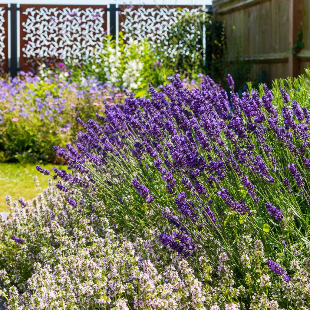 Lavender and herb bed Odiham Hampshire
