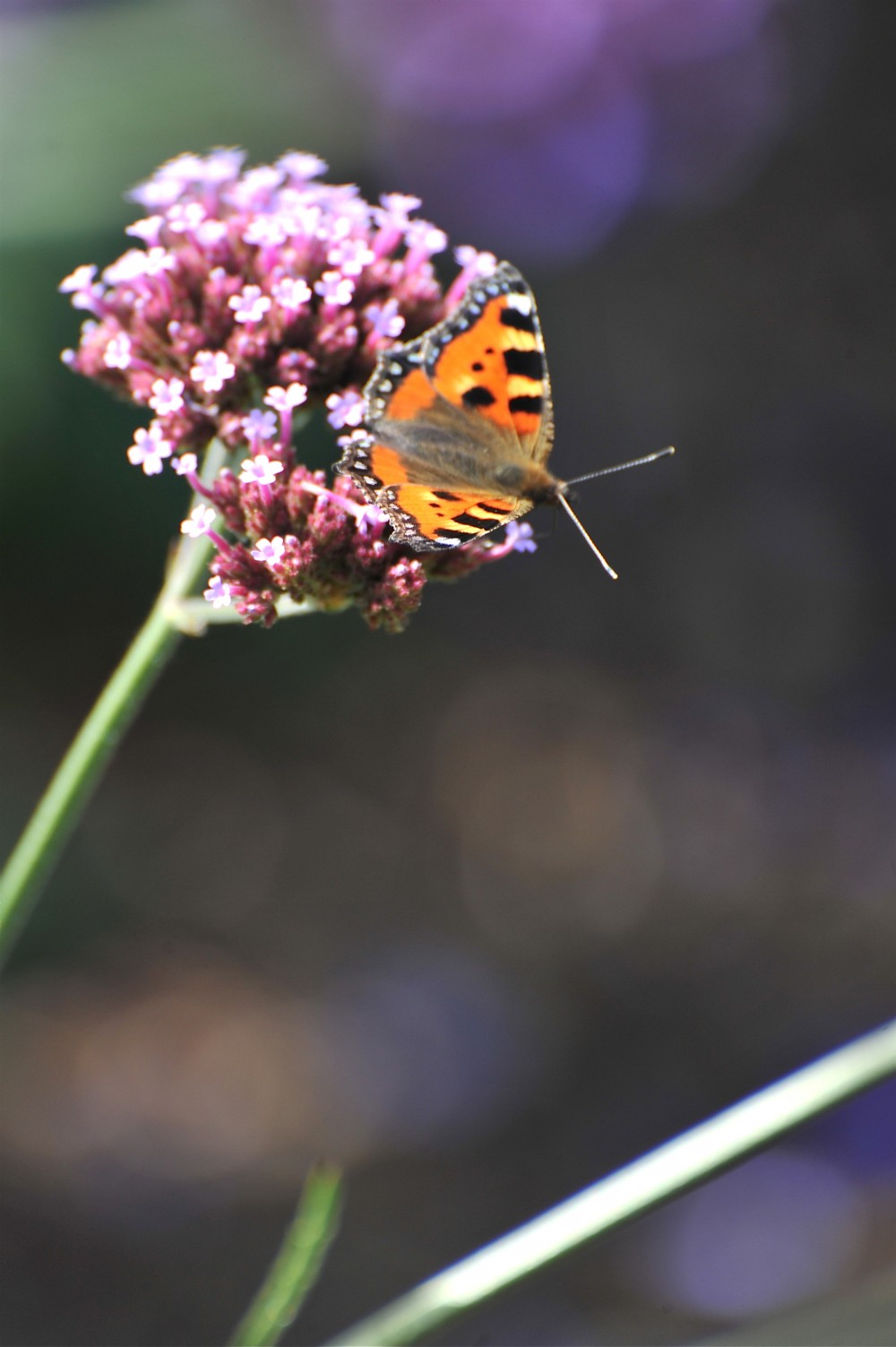 Butterfly on verbena bonariensis