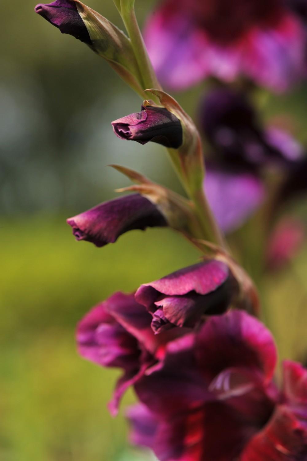 Purple flora Gladiolus